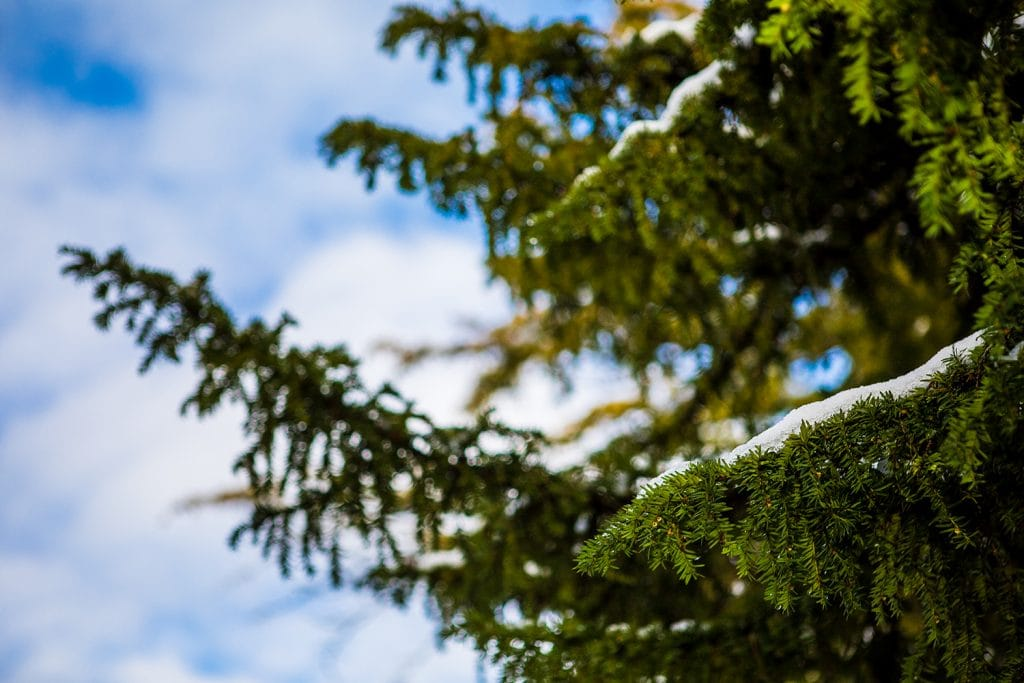 Snow on an evergreen