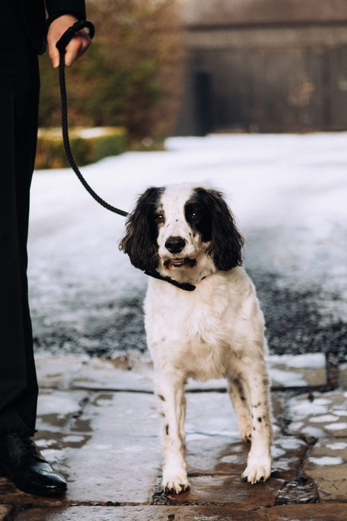 Spaniel wearing his bow tie