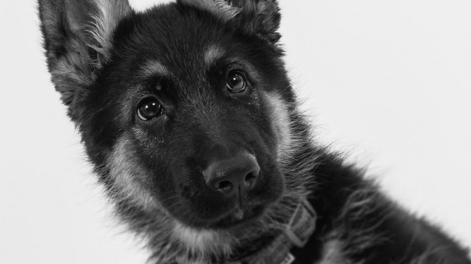 Pet & Dog Photography German Shepard